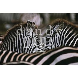 Ritratto di due zebre