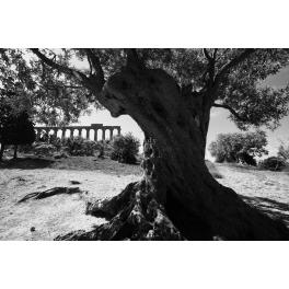 Holy Olive Tree