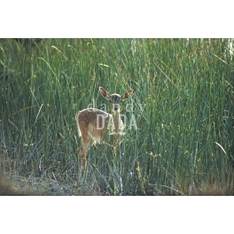 Deer among the reeds