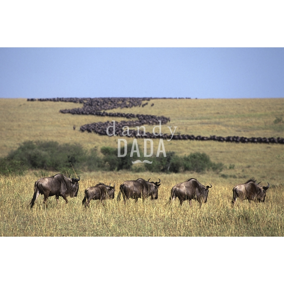 Wildebeest - Like a stream