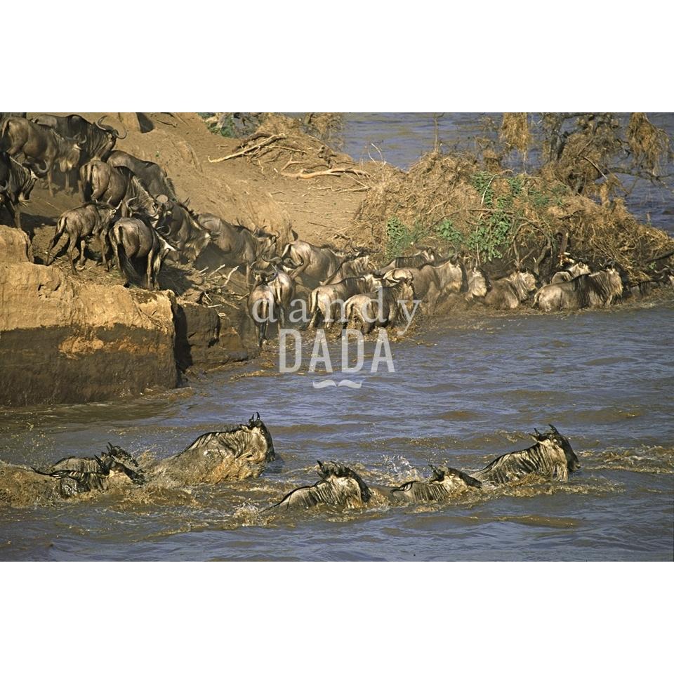 Gnu nel fiume Mara