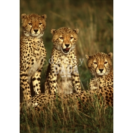 Three young cheetahs