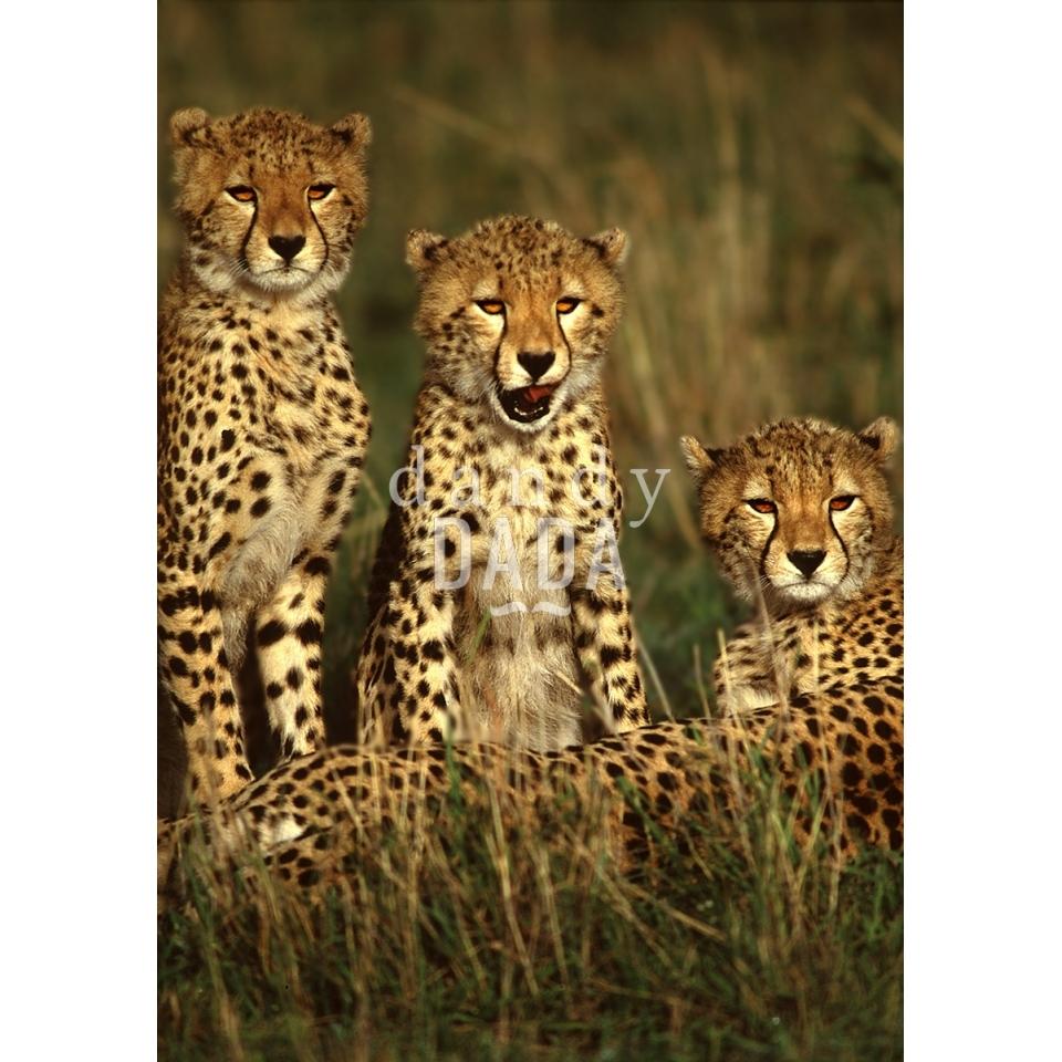 Three young cheetahs